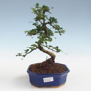 Pokojová bonsai - Carmona macrophylla - Čaj fuki PB2191436
