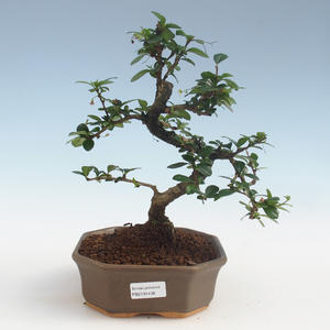 Pokojová bonsai - Carmona macrophylla - Čaj fuki PB2191438