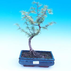 Vonkajšie bonsai - Pamodřín - Pseudolarix amabis