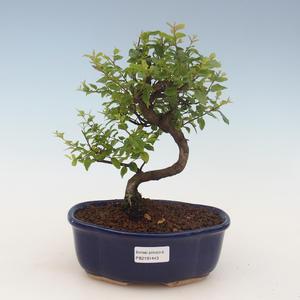 Pokojová bonsai - Sagerécie thea - Sagerécie thea 2191443