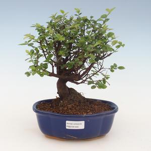 Pokojová bonsai - Sagerécie thea - Sagerécie thea 2191445