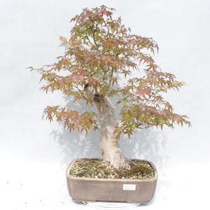 Pokojová bonsai -Ligustrum chinensis - Ptačí zob 2191454