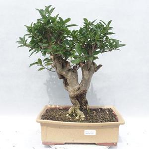Pokojová bonsai -Ligustrum chinensis - Ptačí zob 2191455