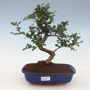 Pokojová bonsai - Carmona macrophylla - Čaj fuki 2191457