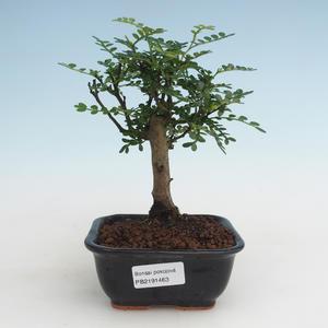 Pokojová bonsai - Zantoxylum piperitum - Pepřovník PB2191463