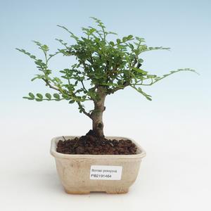 Pokojová bonsai - Zantoxylum piperitum - Pepřovník PB2191464