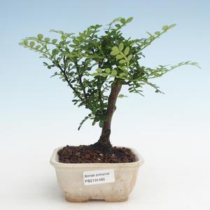 Pokojová bonsai - Zantoxylum piperitum - Pepřovník PB2191465