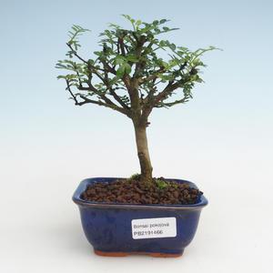 Pokojová bonsai - Zantoxylum piperitum - Pepřovník PB2191466