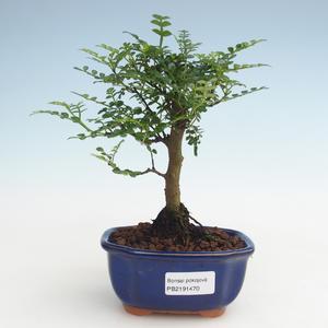 Pokojová bonsai - Zantoxylum piperitum - Pepřovník PB2191470