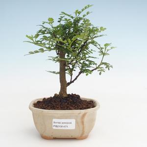 Pokojová bonsai - Zantoxylum piperitum - Pepřovník PB2191471