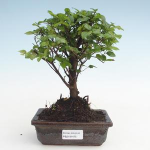 Pokojová bonsai - Sagerécie thea - Sagerécie thea  PB2191475