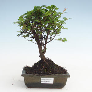 Pokojová bonsai - Sagerécie thea - Sagerécie thea  PB2191477