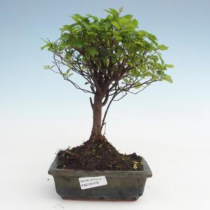 Pokojová bonsai - Sagerécie thea - Sagerécie thea  PB2191478