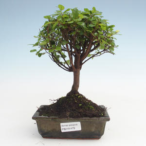 Pokojová bonsai - Sagerécie thea - Sagerécie thea  PB2191479
