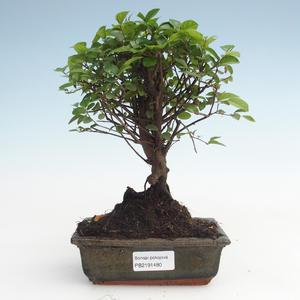 Pokojová bonsai - Sagerécie thea - Sagerécie thea  PB2191480