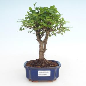 Pokojová bonsai -Ligustrum chinensis - Ptačí zob PB2191490