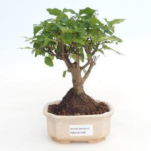 Pokojová bonsai -Ligustrum chinensis - Ptačí zob PB2191492