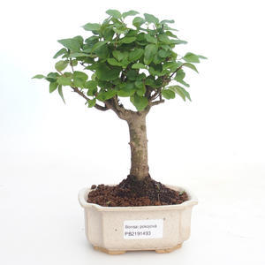 Pokojová bonsai -Ligustrum chinensis - Ptačí zob PB2191493