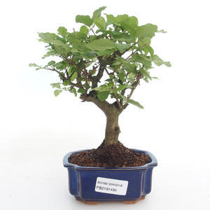 Pokojová bonsai -Ligustrum chinensis - Ptačí zob PB2191494