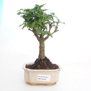 Pokojová bonsai -Ligustrum chinensis - Ptačí zob PB2191495
