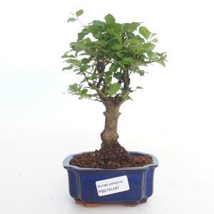 Pokojová bonsai -Ligustrum chinensis - Ptačí zob PB2191497