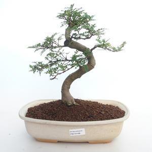 Pokojová bonsai - Zantoxylum piperitum - Pepřovník PB2191498