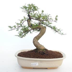 Pokojová bonsai - Zantoxylum piperitum - Pepřovník PB2191499