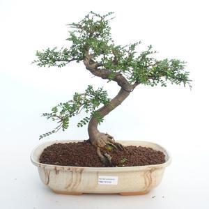 Pokojová bonsai - Zantoxylum piperitum - Pepřovník PB2191500
