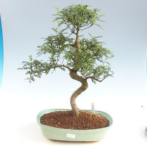 Pokojová bonsai - Zantoxylum piperitum - Pepřovník PB2191501