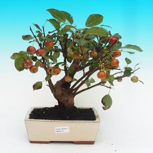 Venkovní bonsai -Malus halliana Maloplodá jabloň