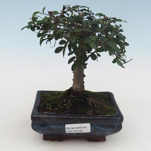 Pokojová bonsai-Ulmus Parvifolia-Malolistý jilm PB2191538
