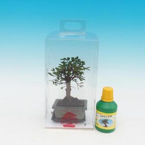 Pokojová bonsai v dárkové krabičce A, Ulmus parvifloria - Jilm čínský