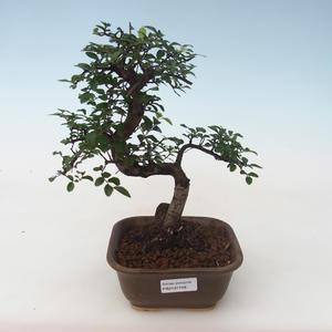 Pokojová bonsai - Ulmus parvifolia - Malolistý jilm PB2191748
