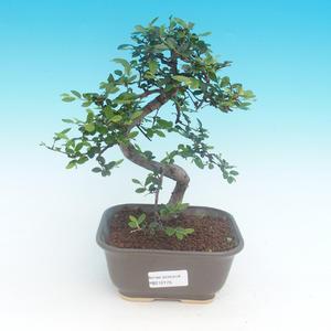 Pokojová bonsai - Ulmus parvifolia - Malolistý jilm