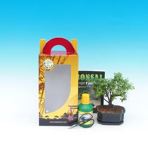 Pokojová bonsai v dárkové krabičce