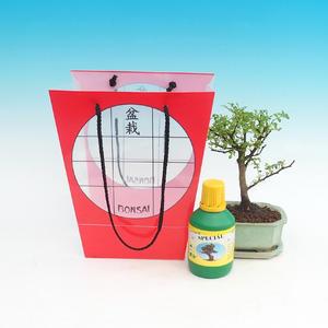Pokojová bonsai v dárkové tašce, Caragona spinosa - pepřovník