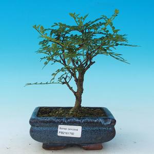 Izbová bonsai - Zantoxylum piperitum - piepor