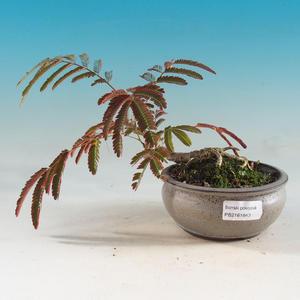 Pokojová bonsai - Albízie - akácie