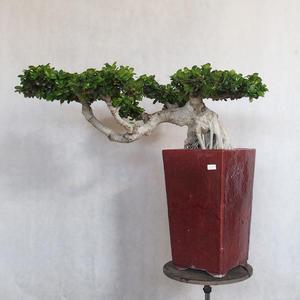 Servis bonsai - Ficus nitida - malolistá fikus