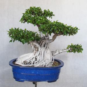 Servis bonsai - Ficus kimmen - malolistá fikus