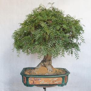 Izbová bonsai- Pistácie