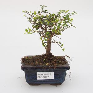 Pokojová bonsai -Ligustrum retusa - malolistý ptačí zob