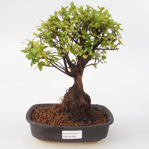 Pokojová bonsai - Sagerécie thea -Sagerécie čajová