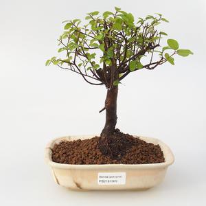 Izbová bonsai - Sagerécie Thea -Sagerécie Čajová