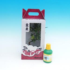 Pokojová bonsai v dárkové krabičce, Podocarpus - Kamenný tis