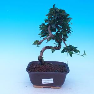 Bonsai v miestnosti - Carmona macrophylla - Tea fuki
