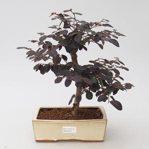 Pokojová bonsai - Loropelatum chinensis