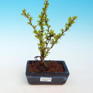 Vonkajšie bonsai - Berberis thunbergii - dráč