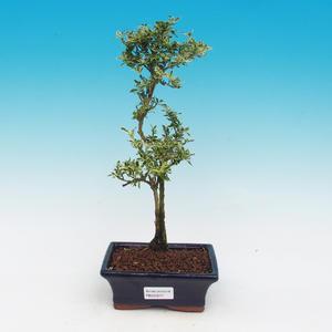 Pokojová bonsai - Serissa foetida Variegata - Strom tisíce hvězd