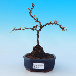 Vonkajšie bonsai - Chaneomeles s. Red Joy - Dulovec